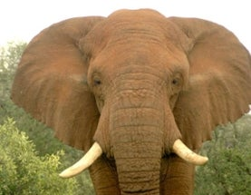 Poaching Could Drive Elephants Extinct in Decades