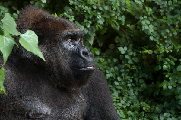 Can Animals Acquire Language?