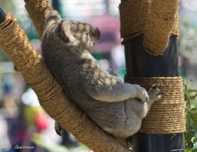 Photoblogging: More Koalas!
