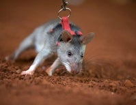 Giant African Rats Detect Land Mines and TB for a Living