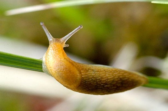 Nematodes Use Slugs Like Buses ... and Maybe Cruise Ships