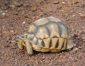 2 Years to Ploughshare Tortoise Extinction?