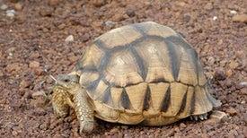 2 Years to Ploughshare Tortoise Extinction?