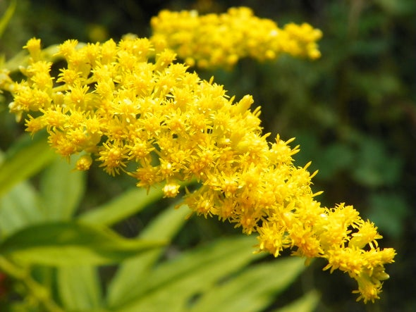 Invasive Goldenrod Is Killing Europe's Ants and Butterflies