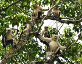 Good News for One of the World's Rarest Monkeys
