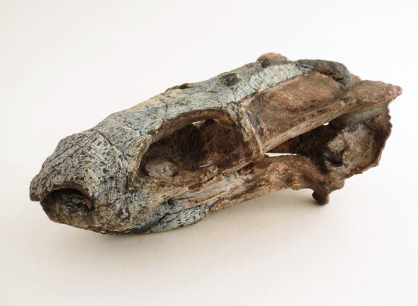 Paleo Profile: The Rio do Rasto Tooth