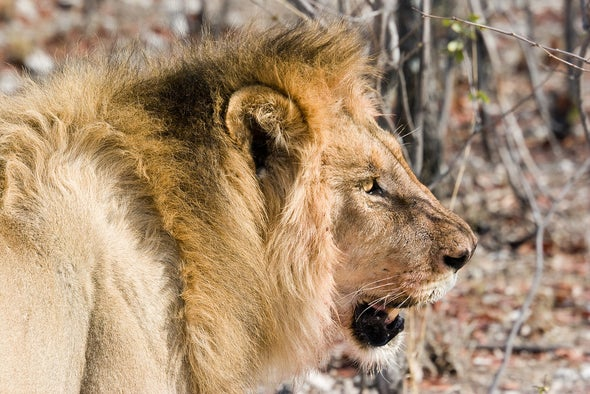 A Growing Threat to Lions: Illegal Trade in Their Bones