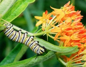 You Know You Want To Help (6-Legged) Monarchs. Here's How.