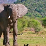 Can We Avert the End of Elephants?
