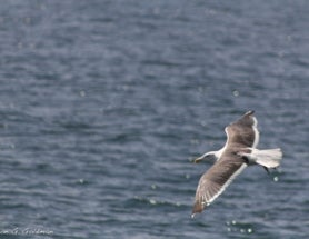 Photoblogging: Seagull in Flight