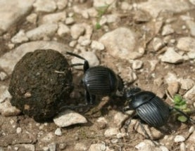 IgNobels 2013! The dung beetle and the stars