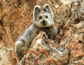Rare Ili Pika Photographed for the First Time in 20 Years