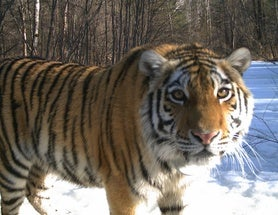 A Cinderella Story for Global Tiger Day
