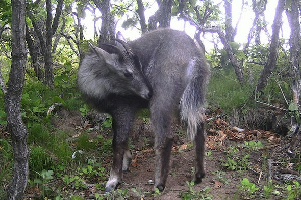 East of Siberia: Goral on the Cliffs