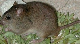 Climate Change Claims Its First Mammal Extinction