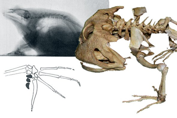 The Remarkably Weird Skeletons of Frogs