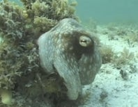 How Does That Crazy Camouflage Octopus Disappear? [Video]