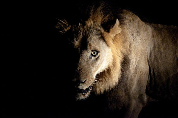Lion-Hunting by Trump Donors Is Awful, but the Trade in Lion Bones Is Worse