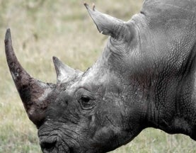 22 Links for World Rhino Day as Poaching Levels Shoot Past 2012′s Deadly Record