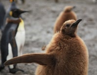 Lost Penguin Chicks Try To Find Their Way Home