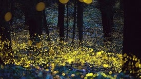China's Endangered Fireflies