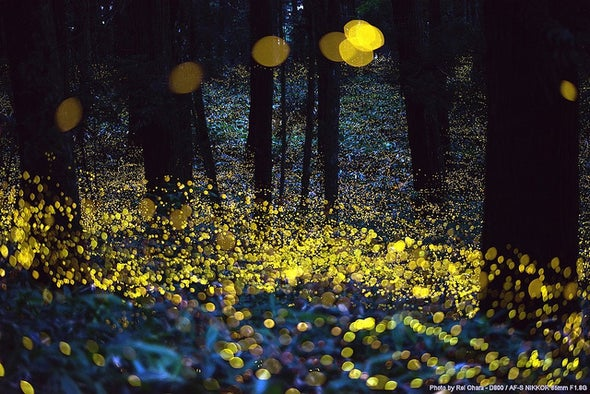 China's Endangered Fireflies