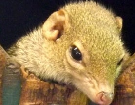 Introducing the Treeshrews: They Don't All Live in Trees and They Aren't Close to Shrews