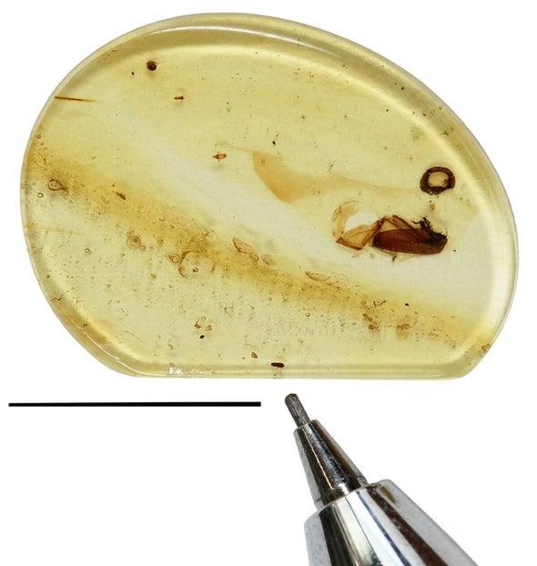 Paleo Profile: The Nonsense Beetle