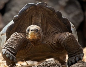 Once Extinct in the Wild, Galapagos Giant Tortoises Return to Pinzon Island