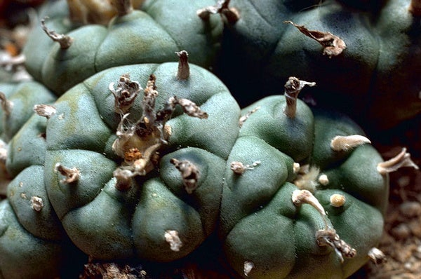 Tripping on Peyote in Navajo Nation
