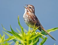 The Not-So-Simple Secret World of Song Sparrows