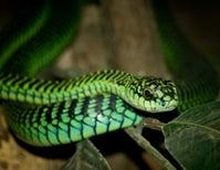 Shy Snake Packs a Deadly Bite