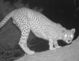 Rarely Seen Saharan Cheetah Revealed in Incredible Photos