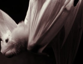 Halloween Horrors: The Ghost Bat (aka the False Vampire Bat)