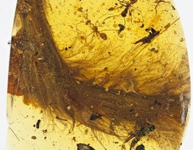 Jaw on the Floor: Entire Chunk of Feathered Dinosaur Discovered in Amber