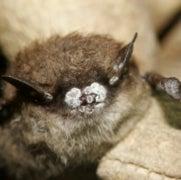 Bat-Killing Fungus Spreads from Coast to Coast