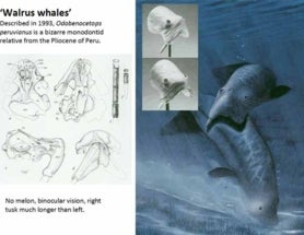 Odobenocetops: ridiculous 'walrus whales'