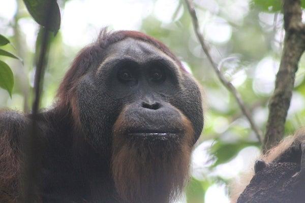 The Orangutans of Sikundur, Part 2: The Males