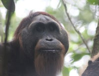 The Orangutans of Sikundur, Part 2: The Males