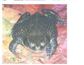 It's the Helmeted water toad… this time, with information!