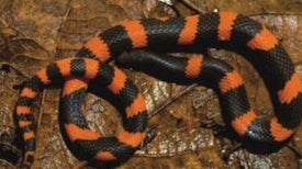 Rare Burrowing Snake Discovered in Mountains of Mexico