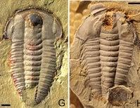 Trilobites Had Guts