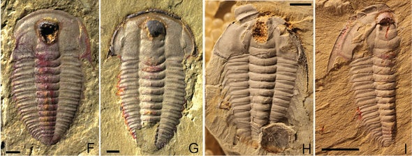 Trilobites Had Guts