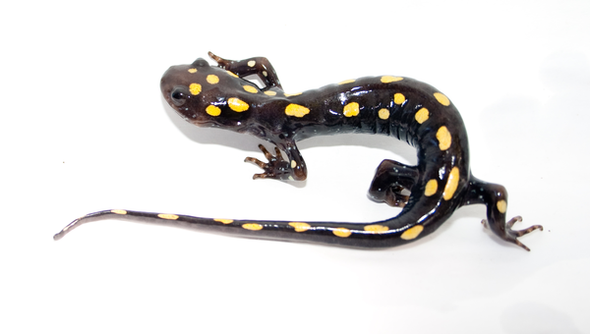 Algae Living inside Salamanders Aren't Happy about the Situation