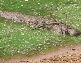 Tool use in crocodylians: crocodiles and alligators use sticks as lures to attract waterbirds