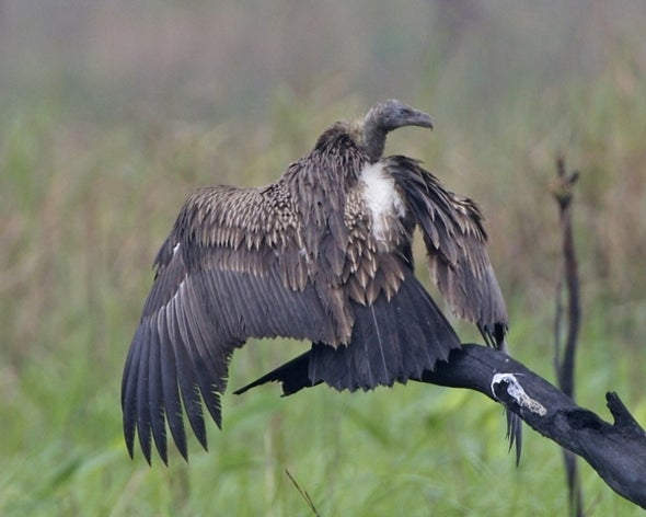Asian Vultures Get Good News Ahead of International Vulture Day