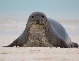 How Social Networks Could Save Hawaiian Monk Seals