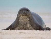 How Social Networks Could Save Hawaiian Monk Seals