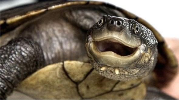 Mysterious Disease Threatens Australian Turtle with Immediate Extinction