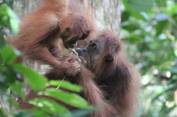 The Orangutans of Sikundur, Part 1: The Females and Their Infants